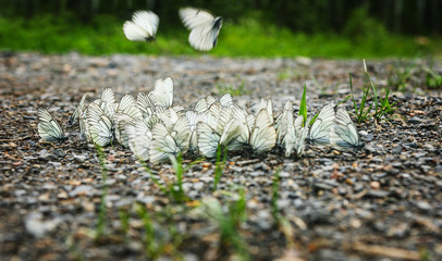 group of white butterflies