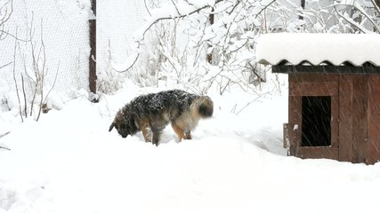 Active dog in snow near kennel runs out of frame
