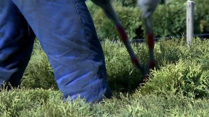 Gardener cutting bush with secateurs