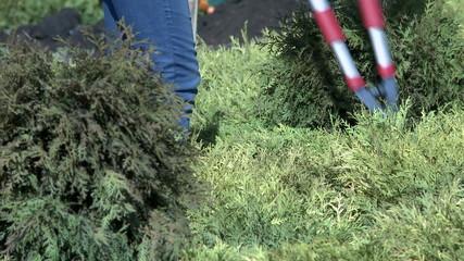Work in garden. Gardener cutting bush