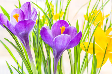 Purple and yellow spring crocuses close up