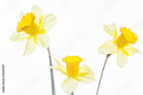 In de dag Narcis Three white spring daffodils close up