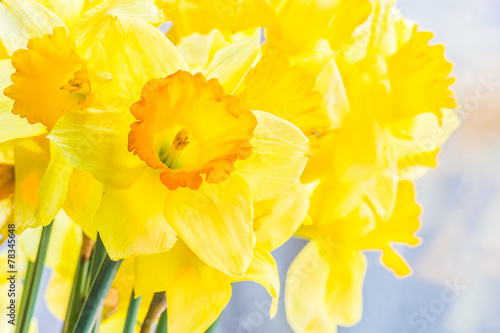 Staande foto Narcis Bouquet of yellow spring daffodils backlit, closeup