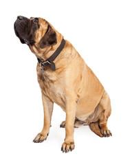 Mastiff Dog Looking To Side