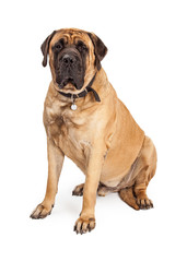 Giant Mastiff Dog Sitting