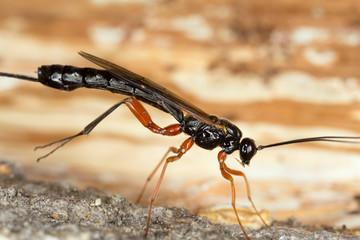 Parasite wasp on wood
