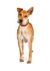 Beautiful Shepherd Crossbreed Dog