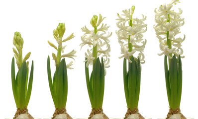 White Hyacinth Series