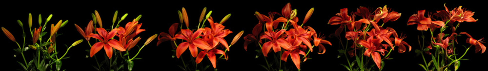 Lily Flower Series