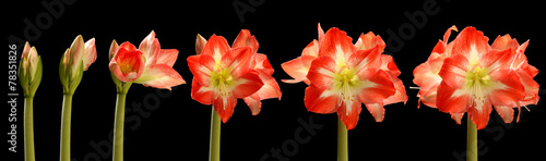 Amaryllis Flower Series