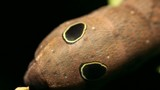 Snake mimic- Sphingid caterpillar with eyespots, poster