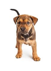 Adorable Shepherd Mix Puppy