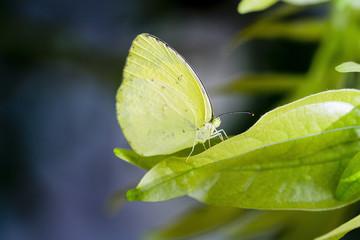 Green Butterfly flying