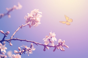 Dreamy photo of cherry flower in spring