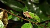 Leaf mimic katydid (Pycnopalpa bicordata), Ecuador poster