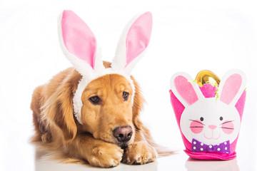 Sad dog in bunny ears