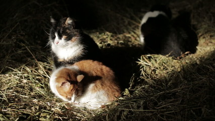 Cats in the hay