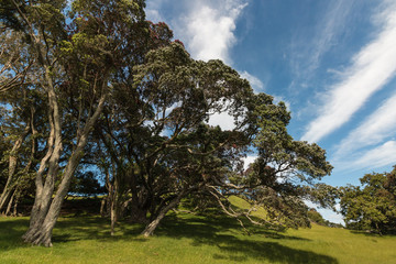 gnarled Pohutukawa trees