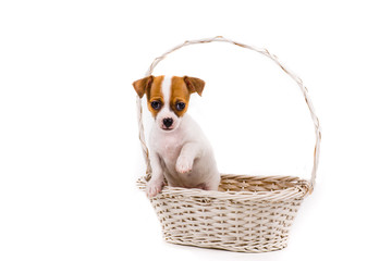 cute puppy holding up his paw standing in a basket