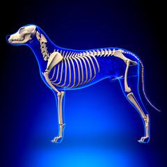 Dog Skeleton - Canis Lupus Familiaris Anatomy - side view