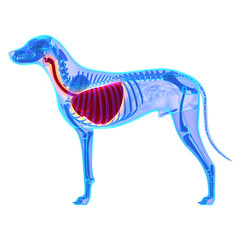 Dog Thorax / Lungs Anatomy - Canis Lupus Familiaris Anatomy - is
