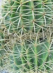 The bolden ball or barrel cactus on Fuerteventura