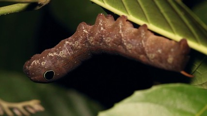 Snake mimic- Sphingid caterpillar with eyespots,