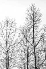 Silueta de álamo / poplar shape