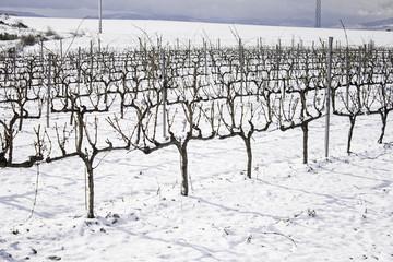 Snowy trees vineyard