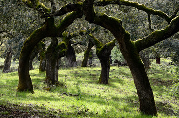 landscape with trunks of holm oaks trees