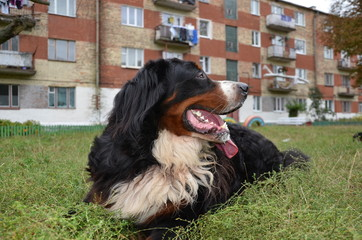 Dog breed Berner Sennenhund