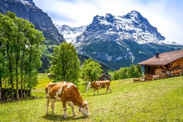 Kühe auf Bergwiese