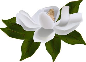 magnolia bloom on green leaves