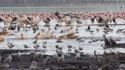 Flock of flamingos at Lake Nakuru, Kenya