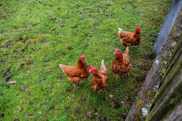 Hühner in Freilandhaltung