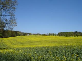 Ein Rapsfeld und wolkenloser blauer Himmel