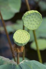 Green lotus seed.