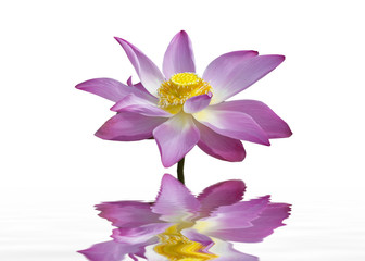 Beautiful lotus flower and reflection.