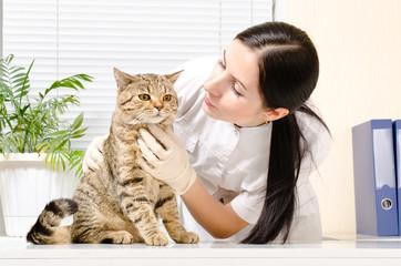 Cat Scottish Straight on inspection at the vet