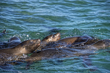 sea lion seals playing in the water