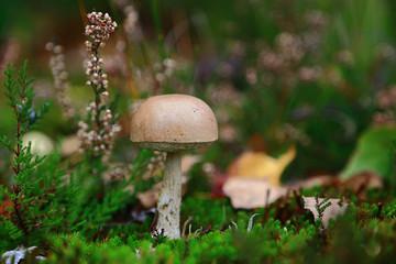 lonely brown mushroom