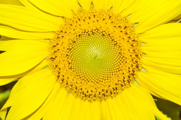 close-up with sunflower on a summer day