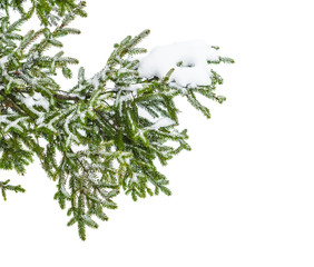 The snow-covered branch of a fir-tree isolated on white snow