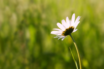 White  Daisy isolated .