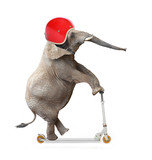 Funny elephant with protective helmet riding a push scooter.