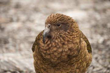 Wild Parrot, Kea