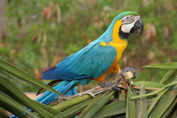 Colorful blue parrot