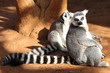 ring-tailed lemur (lemur catta) looking