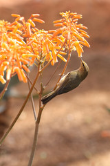 little bird eats from a flower