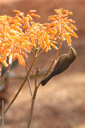 canvas print picture little bird eats from a flower